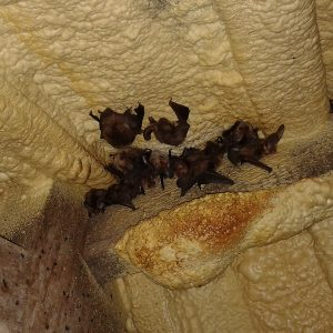 Bats roosting in a roof space